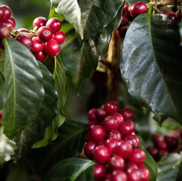 قهوه اسپشیالیتی چیست